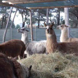 Le corral des lamas : un exemple de médiation animale