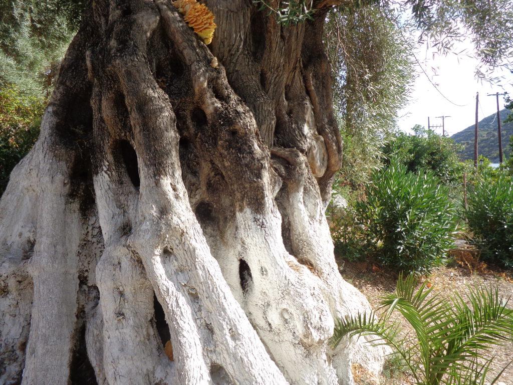 olivier-grece