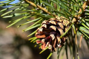pine-1119202_1280
